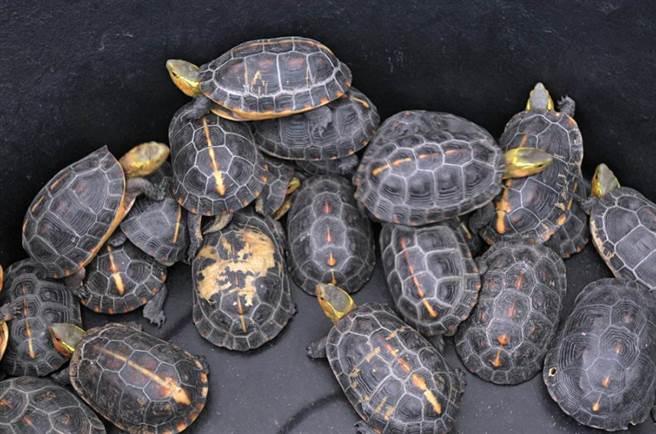 食蛇龜因價格不斐,遭人盜獵,一度面臨瀕危。(資料照)