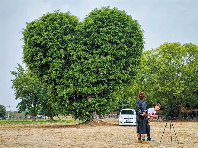 彰化大葉大學門口西側停車場,有一棵巨大愛心樹,近來吸引許多網美朝聖,超過3層樓高的巨大愛心,民眾站在樹旁拍照顯得相當嬌小。(吳建輝攝)