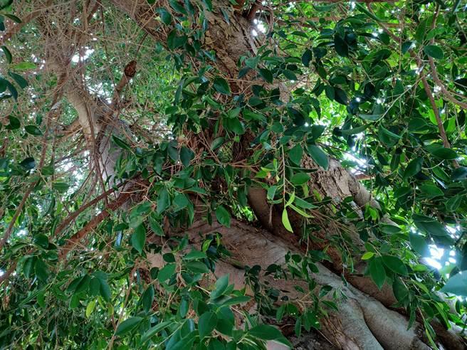 許多人不相信是自然生長,但仔細觀察內部,可以發現樹幹呈現「Y」字形生長,間接印證愛心樹為自然成型的真實性。(吳建輝攝)