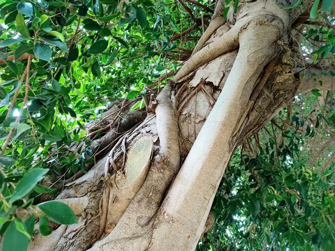 榕樹的氣根與樹木結合盤再一起,自然生長出愛心的樣態。(吳建輝攝)