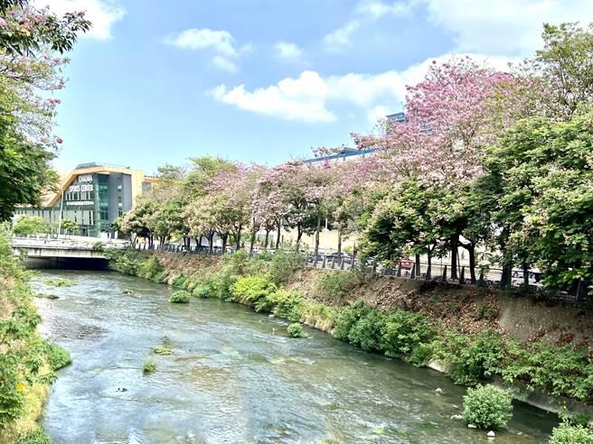 台中市西屯區潮洋溪畔,洋紅風鈴木盛開,吸引很多民眾來拍照賞花。(盧金足攝)