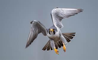 遊隼獵鴿飛空中 半路殺出飢餓海鷗圍攻 結局意外