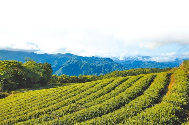 今年春雨下不來,農民製茶時間更充裕,新北市三峽、坪林等地茶葉品質反而更佳。(新北市農業局提供/蔡雯如新北傳真)