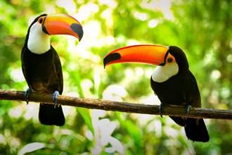 動物園撮合巨嘴鳥情侶 「做鳥」8年無果 驚覺殘酷真相