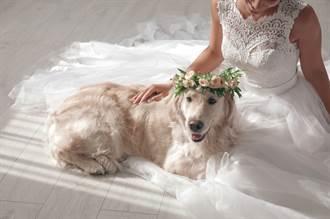 黃金獵犬趴婚紗不捨主人出嫁 下秒如願變「嫁妝」