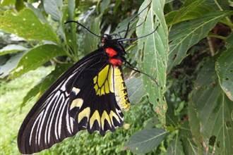 亞泥生態園區食源充足 學界盼促成瀕危珠光鳳蝶復育基地