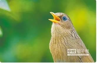 天外飛來一隻鳥 園藝業者收養「台灣畫眉」觸法