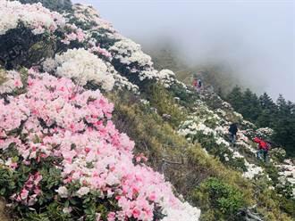 合歡群峰玉山杜鵑盛開 猶如眾神的花園