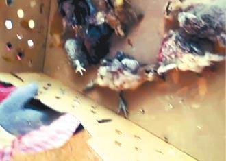 台東鷹闖雞舍專啃雞頭 近千小雞嚇死