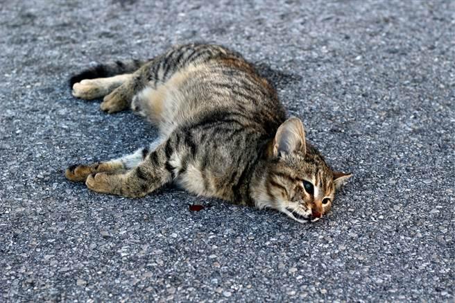 美國一隻貓被車撞,隨後被主人埋入土裡安葬,豈料5天後牠竟爬了出來,甚至自行回家,被網友稱為「喪屍貓」。(示意圖/達志影像)