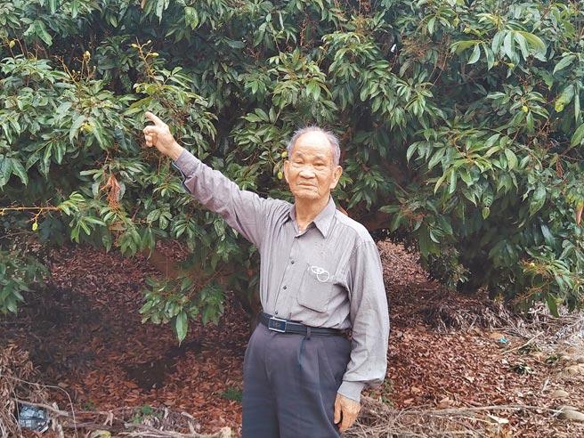 高雄市大树区果树产销班第8班班长刘武利说,他种植的3公顷玉荷包荔枝园,落果已有3成,损失惨重,灾损每公顷可补助9万元,不无小补。(林雅惠摄)