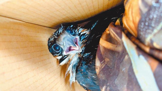 遊隼幼鳥不慎從巢緣摔落,精神狀態很好、無外傷。(基隆市野鳥學會提供/陳彩玲基隆傳真)