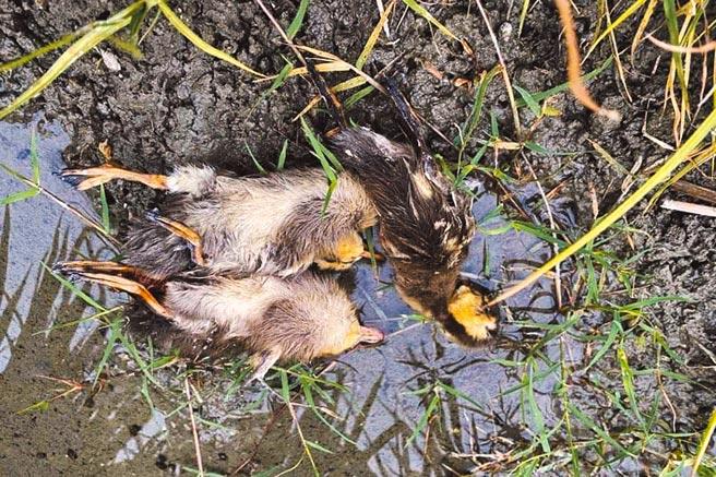 池上青農魏瑞廷採友善農法,卻在田梗上發現被流浪狗咬死的花嘴鴨寶寶。(魏瑞廷提供/莊哲權台東傳真)