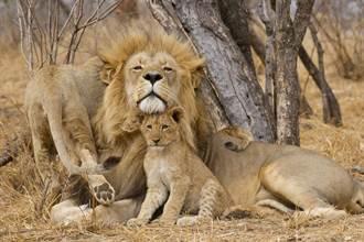 幼崽糾纏公獅被吼下秒綜藝摔 手足冷眼看10萬人笑翻
