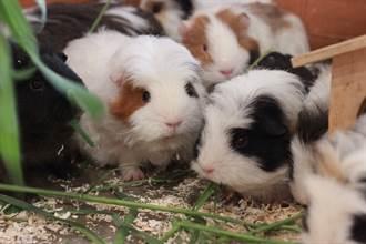 買6母天竺鼠竟有公的亂入 享齊人之福4年狂生變88隻
