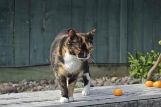 流浪貓自己找長期飯票 蹲點咖啡廳等餵食 出大絕逼人收編