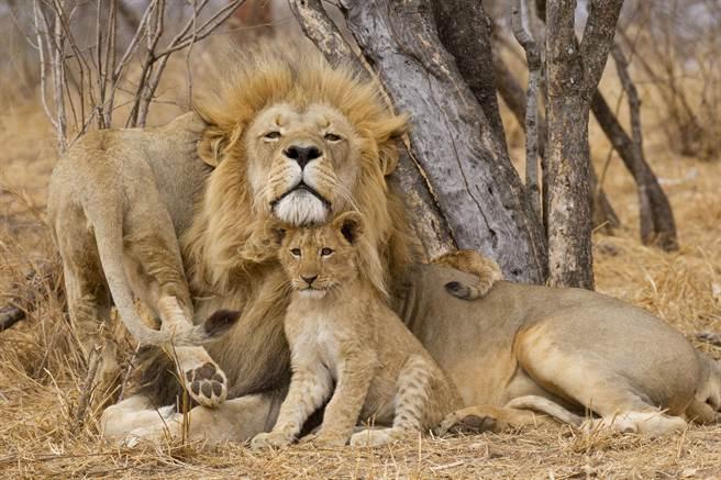幼獅不斷糾纏公獅把對方惹毛,最終反被爸爸一吼,牠嚇到摔到地上,模樣非常有趣。(示意圖/達志影像)