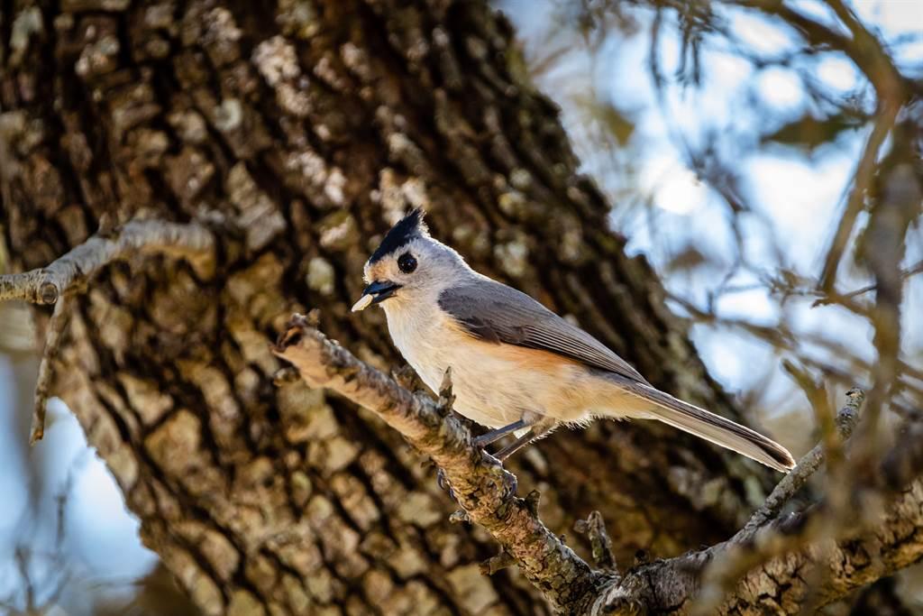 黑冠山雀築巢接近尾聲時,會蒐集動物毛將其編入巢中,讓鳥巢可以更加溫暖、堅固。(示意圖/達志影像)