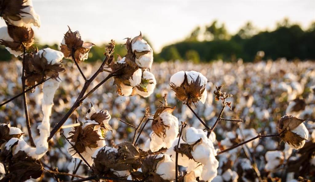 印度疫情衝擊棉花產能,夕陽產業將成台股黑馬,分析師斷言「傳產一定在上游的原物料」。(圖/達志影像)