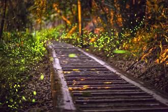 來南投看火金姑 溪頭螢光派對「螢」河超吸睛
