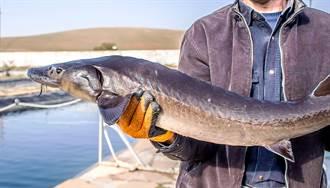 河中捕撈百歲長壽鱘魚 108公斤超巨體型專家都看呆