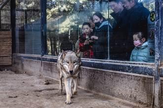 帶兒逛動物園看草原狼 下秒猛獸「汪汪叫」媽傻眼