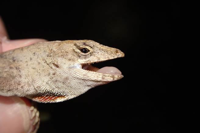 沙氏變色蜥,與壁虎差不多大,特徵下巴有紅色喉囊。(花蓮林管處提供/王志偉花蓮傳真)