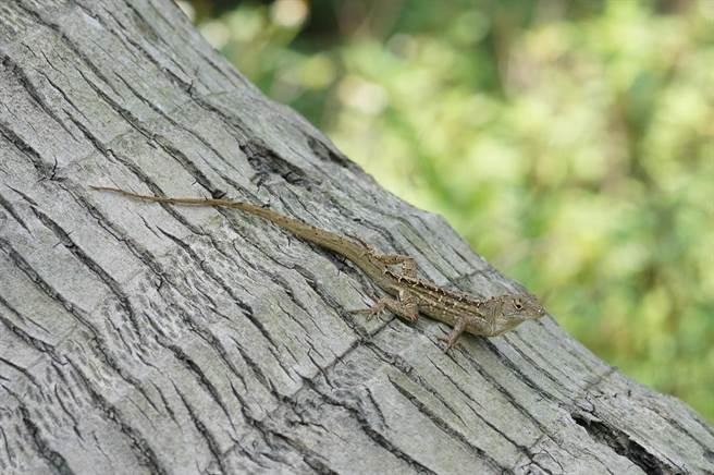 沙氏變色蜥體型與壁虎差不多大,警覺性高、跑得快。(花蓮林管處提供/王志偉花蓮傳真)