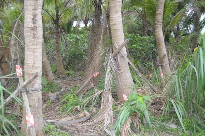 沙氏變色蜥偏好在可可椰子園流竄。(花蓮林管處提供/王志偉花蓮傳真)