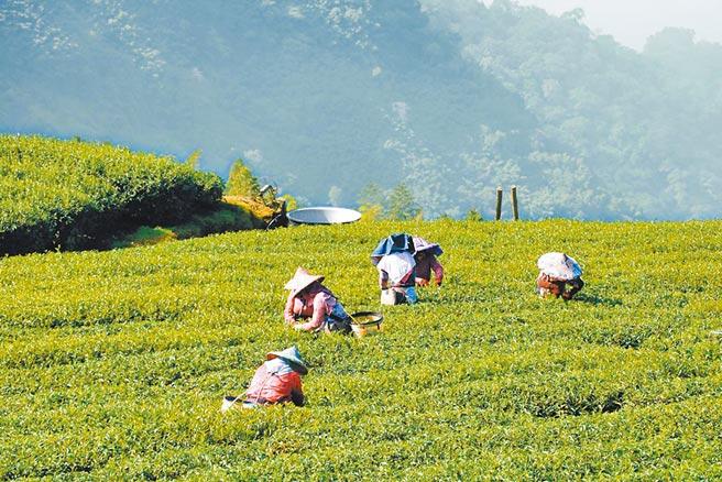 今年大阿里山在春茶萌芽期遭逢乾旱,整體茶葉產量減產。(本報資料照片)