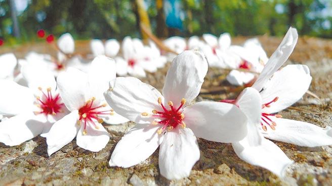 油桐花鋪滿地上,宛如點點白雪顯得浪漫。(東南旅遊提供)