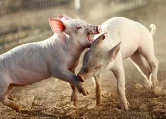 兩豬隔欄火爆互咬 飼主怒嗆「我要跟媽媽講哦」秒停戰