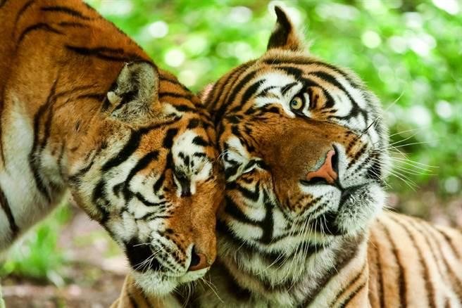 大陸網友捕捉到兩隻老虎高調曬恩愛的甜蜜畫面,羨煞旁人。(示意圖/達志影像)