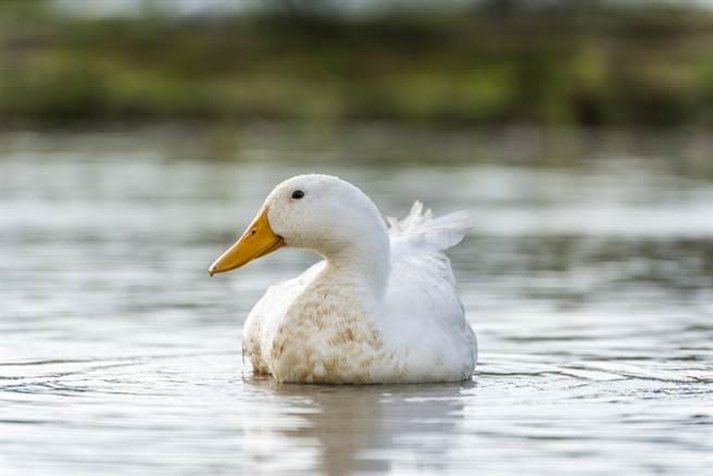 白色小鴨悠閒的滑過水面,身後卻意外帶起一道金色漣漪,畫面十分壯觀,沒想到仔細一看,「漣漪」竟然是由一大群金色錦鯉所組成,讓眾人看了嘖嘖稱奇。(示意圖/達志影像)