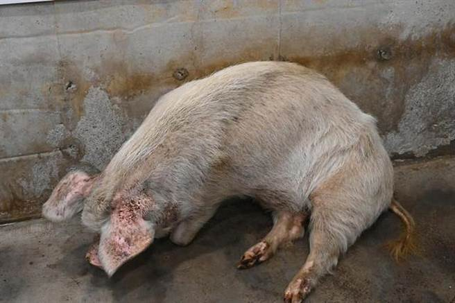 現年14歲的豬堅強已經無法獨自站立,博物館擔心牠可能即將走完生命旅程。(圖/擷自百度)
