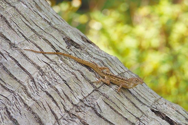 沙氏變色蜥體型與壁虎差不多大,警覺性高跑得快,四處亂竄不易捕捉。(花蓮林管處提供/王志偉花蓮傳真)