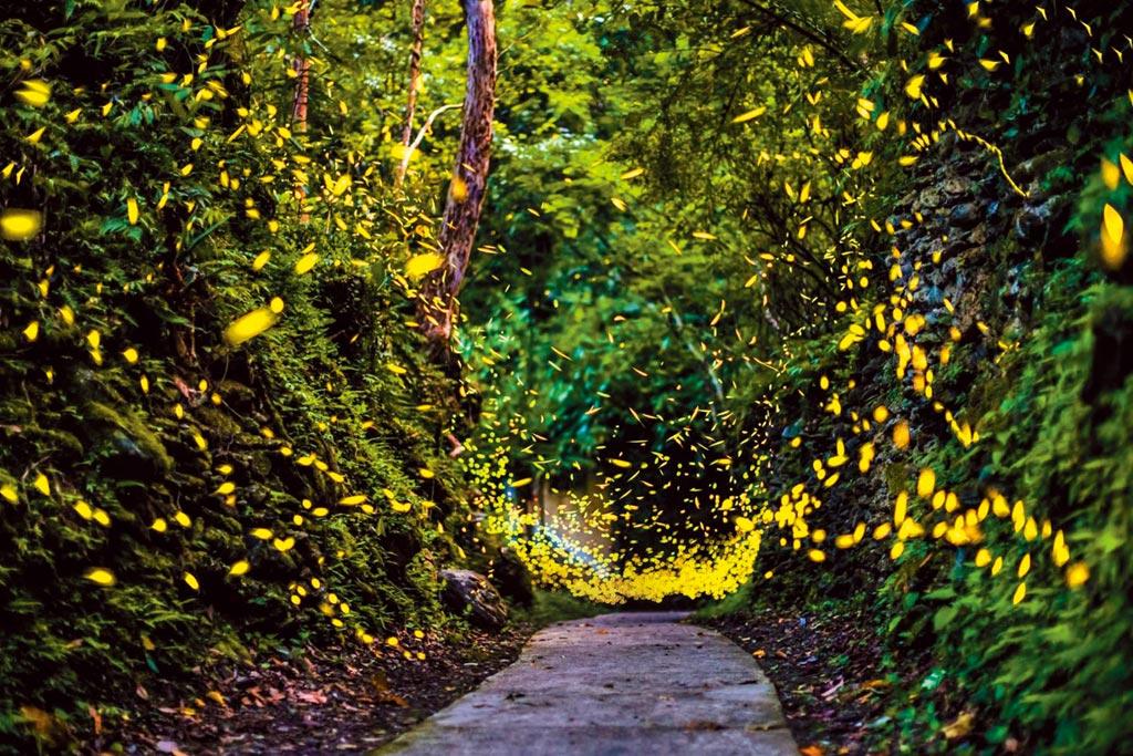 賞螢季節來臨,位於新北市烏來瀑布源頭的「雲仙樂園」是賞螢祕境,沒有光害、遠離都市塵囂。(雲仙樂園提供/蔡雯如新北傳真)