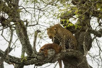 花豹樹上享用獵物引母獅搶食 2猛獸激鬥一半意外發生