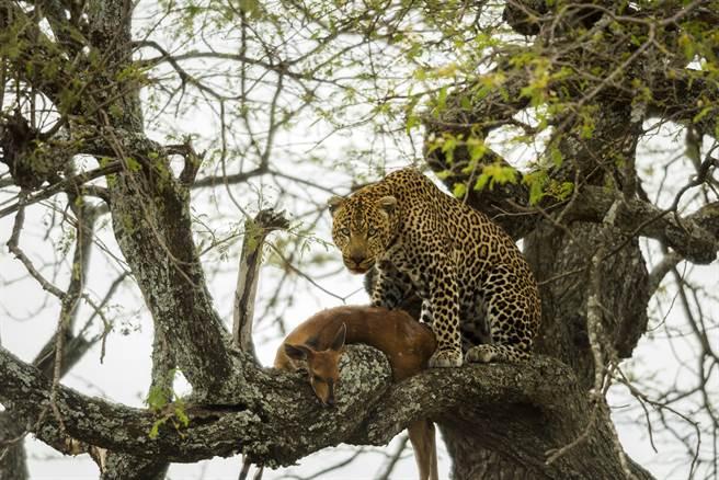 一隻花豹在樹上享用獵物,豈料引來母獅搶食,2猛獸激鬥到一半樹枝卻突然斷裂,讓牠們瞬間重摔在地。(示意圖/達志影像)