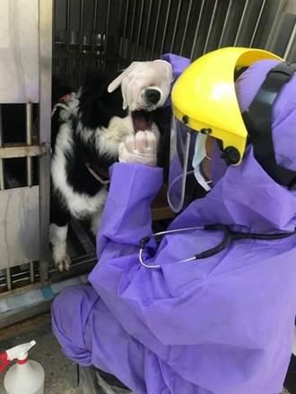 確診個案共居牧羊犬 新北動保處協助14天隔離