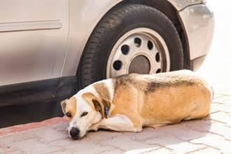 流浪狗見車太多不敢過馬路 駕駛突開門 超暖舉動網淚崩