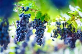 研究發現護眼效果勝葉黃素 營養師:葡萄的最高CP值吃法