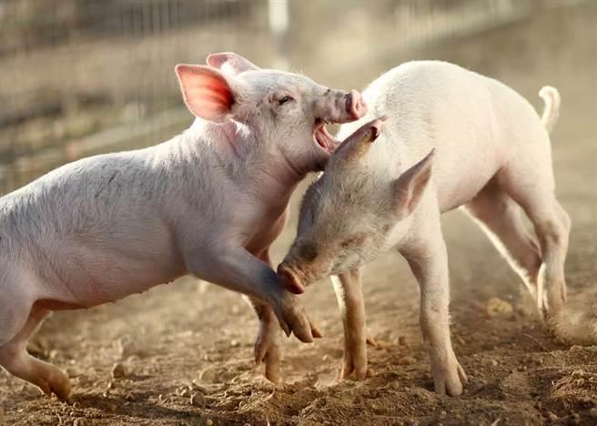 豬隻示意圖。(示意圖/達志影像)