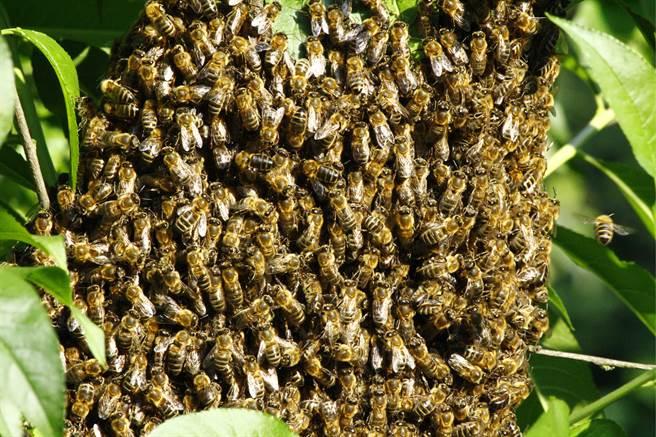 老翁使用割草機除草時,疑似因機器噪音太大惹怒殺人蜂,慘被狂螫當場死亡。(示意圖/達志影像)