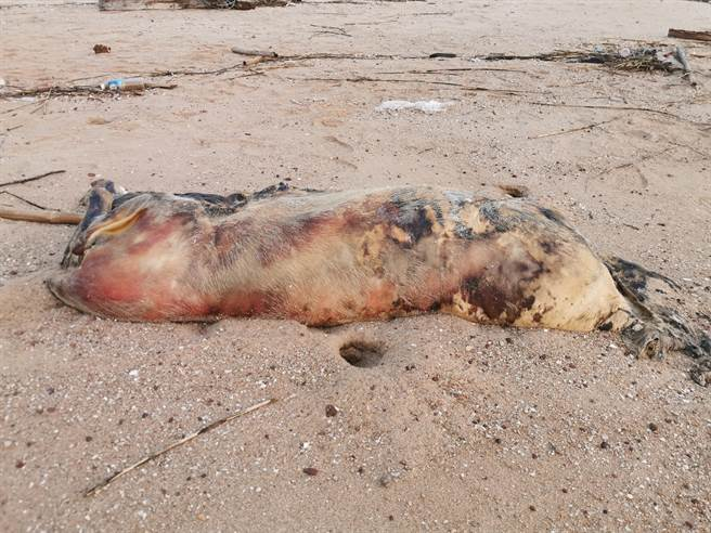 金門岸巡隊1日下午在烏沙頭海灘發現一頭約100公斤的海漂豬屍。(金門縣防疫所提供)