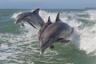 千隻海豚設陷阱包抄魚群 3座頭鯨亂入吃霸王餐