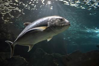 漁民捕到「350公斤巨魚」賣43萬 內行驚:少賺一個零