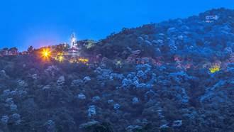 乾旱寶山水庫桐花凋謝  橫山大山背桐花盛開處處有美景