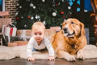 寶寶就愛躺「毛枕頭」 爸一抱秒大哭 阿金表情亮了
