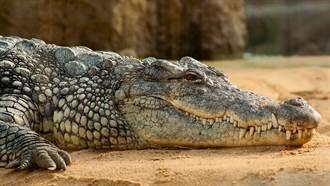 小貓誤闖猛獸區 下秒遭巨大鱷魚叼在嘴裡 民眾全嚇傻